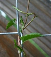 Nice article on covering a chain link fence with vines... Need to cover our chain link fence so the neighbor kid can't look into our living room.