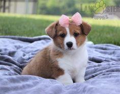 #WelshCorgi #Pembroke #Charming #PinterestPuppies #PuppiesOfPinterest #Puppy #Puppies #Pups #Pup #Funloving #Sweet #PuppyLove #Cute #Cuddly #Adorable #ForTheLoveOfADog #MansBestFriend #Animals #Dog #Pet #Pets #ChildrenFriendly #PuppyandChildren #ChildandPuppy #LancasterPuppies www.LancasterPuppies.com Corgi Names, Pembroke Welsh Corgi Puppies, Lancaster Puppies, Animals Dog, Puppies For Sale, Mans Best Friend, Puppy Love, Pets, Sweet