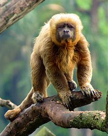The critically endangered blond capuchin is a new world monkey native to Brazil. Fewer than 200 are thought to exist in the wild. New World Monkey, Ape Monkey, Brown Bear, Titanic, South America, Mammals, Blond, Capuchin Monkeys, Brazil