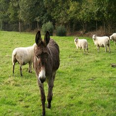 Selecting a Guard Donkey - Homesteading and Livestock - MOTHER EARTH NEWS