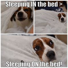 beagle burrows into bed
