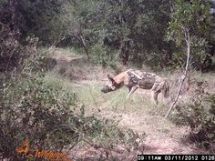 Wild dog Close Proximity, Close To Home, Wild Dogs, Wildlife, Homes, Animals, Houses, Animales, Animaux