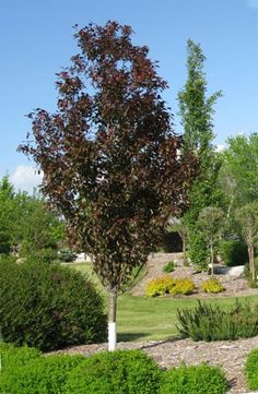 Gladiator crabapple is a columnar tree with lovely purple leaves and pink blooms it is a great - Upright trees for small spaces concept ...