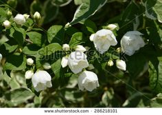 White flowers and green leaves - stock photo