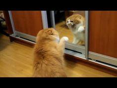 Kucing Darah Tinggi Doyannya Marah-Marah