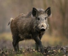 Invasive Species South Africa - Protecting Biodiversity from Invasion - Feral pig Feral Pig, Boar Hunting, Funny Pigs, Wild Boar, Animal Kingdom, Mammals, Animals And Pets, Wildlife, Creatures