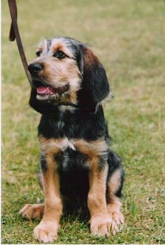 Otterhound. I want one!