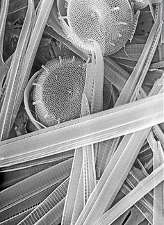 Diatoms seen via a scanning electron microscope