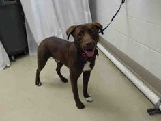 02/11/17- **SEE VIDEO!!** SUPER URGENT - HOUSTON -OWNER SURRENDER - This DOG - ID#A477496 I am a male, brown Labrador Retriever. The shelter staff think I am about 10 years old. I have been at the shelter since Feb 11, 2017. Harris County Public Health and Environmental Services. https://www.facebook.com/harriscountyanimalshelterpets/videos/1422744587789335/