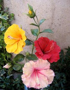 Hibiscus Tree, Hibiscus Garden, Hibiscus Plant, Hibiscus Flowers, Sugar Flowers, Tropical Flowers, Beautiful Flowers Wallpapers, Beautiful Rose Flowers, Exotic Flowers