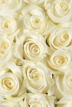 White Akito Roses...the variety of white rose I am using...mostly for the bouquet and bridal party flowers