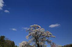 2014-04-24  塩ノ崎の大桜。福島のさくらは今が見頃でした〜♡  真っ青な空に白い雲とピンクの大桜が映えて。