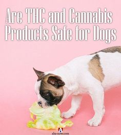 Are you thinking of health benefits for your dog? Cannabis products have health benefits but there are some risks associated with them too. Yet some people and vets prefer it. More on the blog. #AhaNOW #pets #animals #dogs #doggy #cannabis #THC #CBD #health #healthy #petblog #guestpost #guestposting #guestpostservices #petdog #newpost #blogpost #blog #blogging #bloggers All Themes, Starry Eyed, Lifestyle Group, All Family, Best Blogs, Blogging For Beginners, Parenting Advice, Health Benefits, Life Is Good