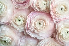 Paris Photograph Cloni Ranunculus, Paris Cloni ranunculus are the most perfect and beautiful variety of this romantic flower. These were