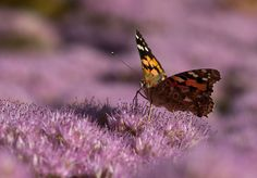 Dit is de distelvlinder. Deze prachtige vlinder brengt zijn winter niet door in Nederland, veel te koud, maar zodra de lente aanbreekt kun je hem weer spotten. Wie ziet de eerste distelvlinder in de Nederlandse natuur?