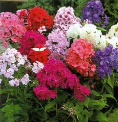 Garden Phlox ... I have several different colors of these, and they never disappoint me!