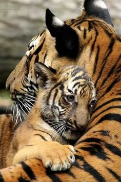 """I love my mommy"" says this little baby Tiger Cub. So sweet"