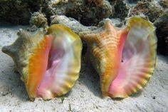 Strombus gigas - queen conch