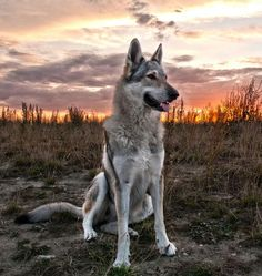 best photos, images and picutures ideas about tamaskan dog - dogs that look like wolves Rare Dogs, Rare Dog Breeds, Dog Breeds List, Beautiful Dogs, Animals Beautiful, Tamaskan Dog, Animals And Pets, Cute Animals, Wolf Hybrid