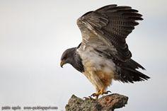 mis fotos de aves: Aguila mora [Geranoaetus melanoleucus] Black-chest...