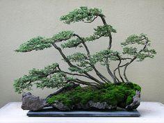 Creeping Juniper (Juniperus horizontalis) bonsai by American bonsai artist John Yoshio Naka.