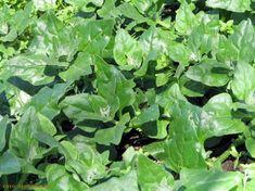 Horta - como plantar Espinafre (Spinacia oleracea) #alcanceosucesso