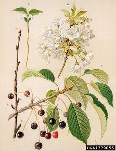 Prunus avium Sötkörsbär, Fågelbär sweet cherry, Prunus avium (Rosales: Rosaceae) - 1379055