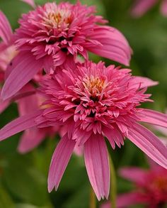 Echinacea purpurea 'Pink Double Delight' Johannsen's ~ I have these in my front garden and they are amazing and easy to grow and come back year after year
