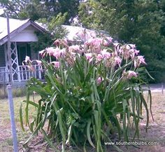 crinum lilies. These are a crinum cross, maybe Crinum x powellii. Huge bulbs, lovely masses of flowers, does okay in drought, but fabulously with water and feeding. This example had adequate water for sure.