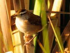 Marsh wren photographed by Linda Montgomery