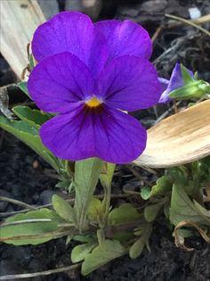 Mini Viola