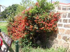 Lantana på Kreta