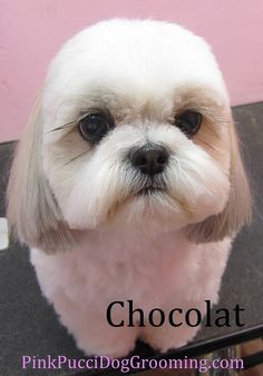 Cocolat the Shih Tzu Japanese Style Cut