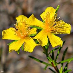 John& Wort has become popular again as an antidepressant. Also known as Perforate St John& Common Saint John& wort and St John& wort, Vitamins For Depression, Herbs For Depression, Depression Facts, How To Cure Depression, Best Herbs For Anxiety, Healthy Herbs, Cold Sore, Depression Treatment, Medicinal Plants