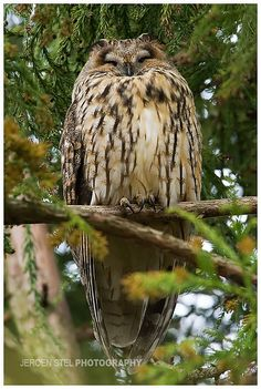 Long-eared Owl | Flickr – Compartilhamento de fotos!