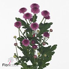 Chrysanthemums Santini Cheeks Dark is a purple variety of miniature santini chrysanthemums. All santini chrysanths are multi-headed, 55cm tall & wholesaled in 25 stem wraps. A superb flower with endless possibilities in floristry.