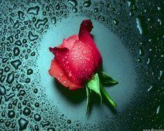 A single rose...