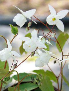 Epimedium youngianum Niveum  ~Shimmering white flower sprays