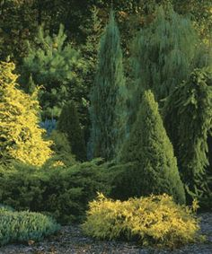 A mix of shapes, sizes, and colors enlivens a collection of conifers planted as a screen. The bright yellow of a Chamaecyparis obtusa 'Crippsii' shines in a stand of trees that includes the tall, cylinder-shaped Conifer Plants, Foliage Plants, Evergreen Landscape, Evergreen Garden, Evergreen Shrubs, Garden Shrubs, Garden Trees, Shade Garden, Landscape Design
