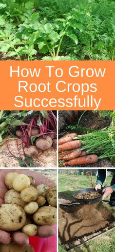 How To Grow Root Crops Successfully - - While most root crops don't need a lot of attention, there are a few tips that will make them thrive. Here's how to grow root crops successfully. Root Vegetables, Organic Vegetables, Growing Vegetables, Growing Plants, Gardening Vegetables, Pot Jardin, Olive Garden, Organic Gardening Tips, Urban Gardening