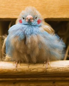 Not sure what kind of bird this is -- a tropical one, i'd guess -- but dont'cha just love the blue plumage, pink beak and expression on its' face