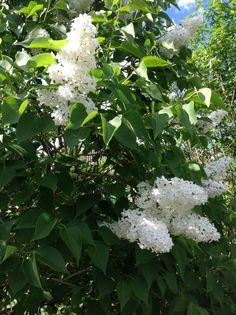 Blomstereksempler rundt fra haven og de forskellige bede. Her en hvid syren.