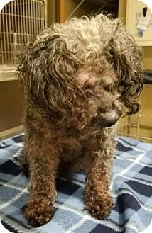 1/2017     *Specilal Needs** Chester *Blind* *Senior* Miniature Poodle Mix Dog for adoption in Chester Springs, Pennsylvania - Curly