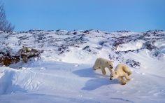 Widescreen Wallpapers: polar bear pic (Pascoe Backer 1920x1200)