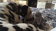 Baby monkey tries to rub the spots off a dalmation