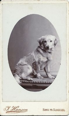 c. 1900 cdv of sweet-looking dog sitting on table. Photo by Hansen, Hong pr.Slagelse, Denmark. From bendale collection