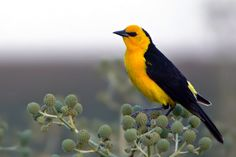 """Photos of Blackbirds / Saffron-cowled Blackbird """"Xanthospar flavus"""" Argentina Largest Countries, Countries Of The World, Forest Fairy, Fauna, Old World, South America, Old Things, Reptiles, Blackbirds"""