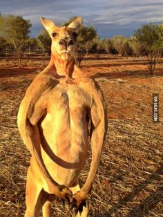 """Massive male red kangaroo (6'7"""") at sunset.Australia is cool as shit"""