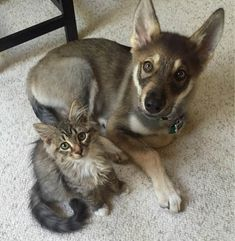 puppy adopts a kitten at shelter