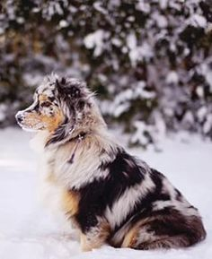 Blue Merle Aussie in the snow